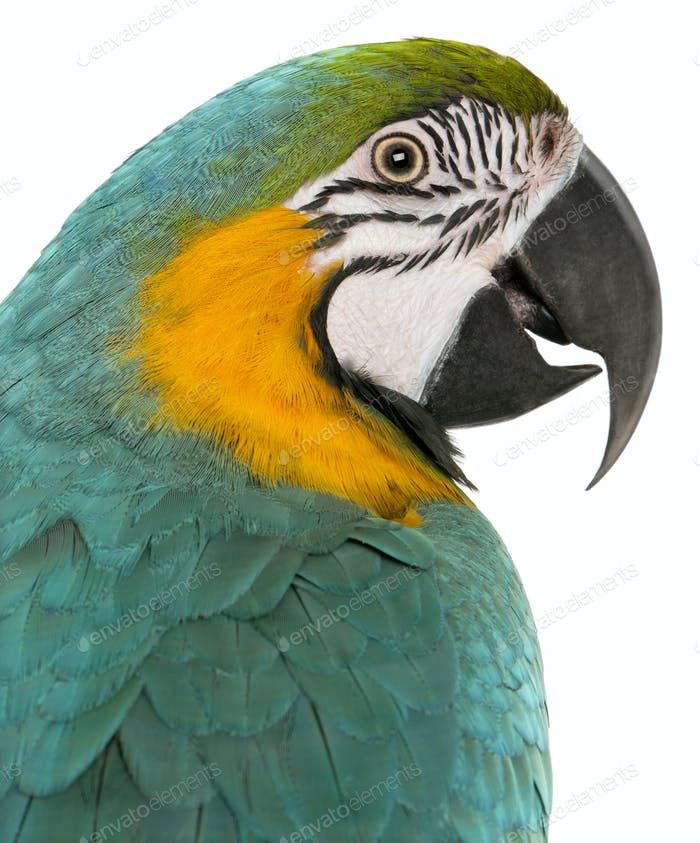 Close-up of Blue and Yellow Macaw, Ara Ararauna, in front of white background