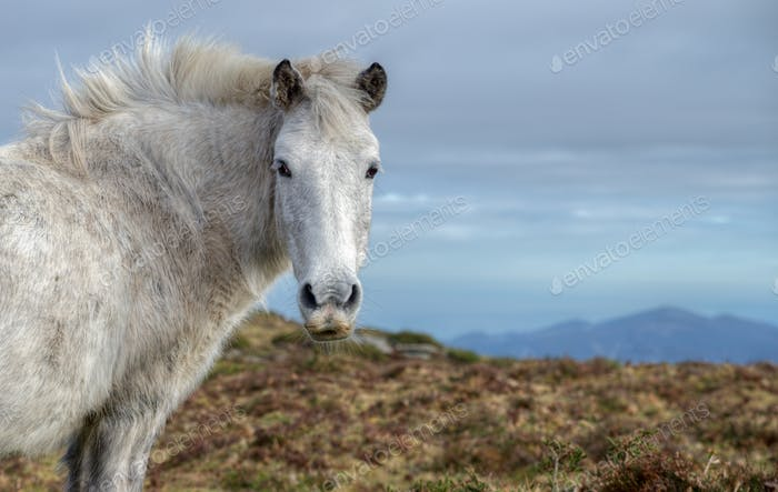 White wild horse, rectangular image with space