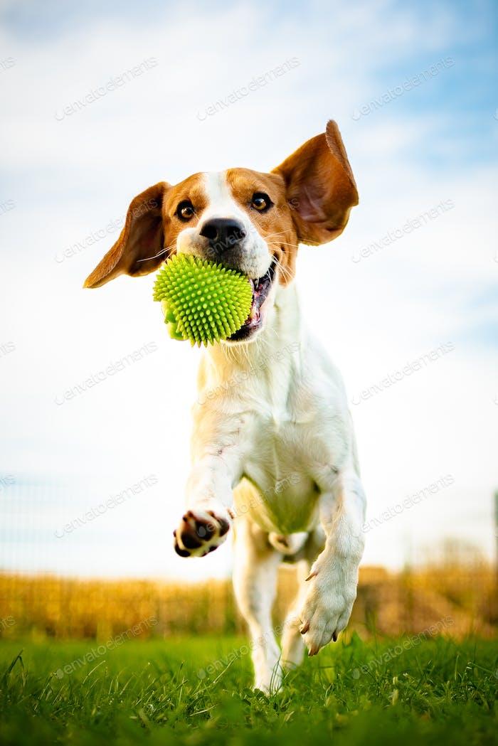 Porträt von schönen Hund im Freien, Laufen voller positiver Energie
