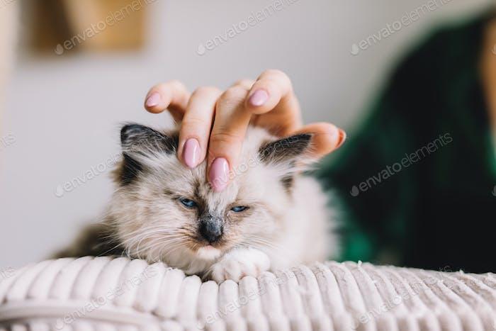 Junge Ragdoll-Katze gestreichelt von der Hand der Frau. Freundschaft
