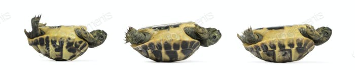 Side view of three baby Hermann's tortoise lying on their back, Testudo hermanni, isolated on white