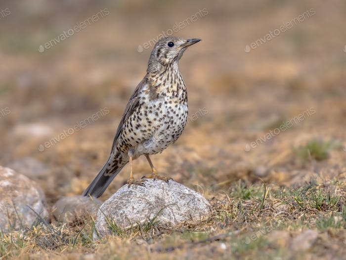 Mistle thrush perched on stone