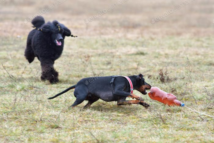 Coursing training
