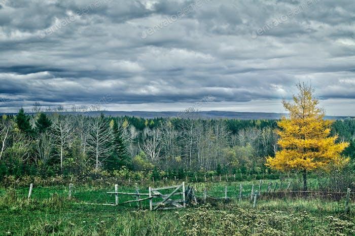 Yellow Larch tree landscape
