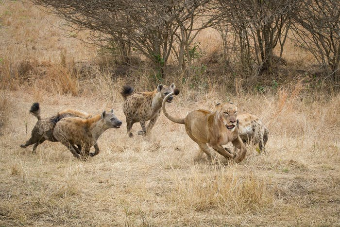 Four spotted hyenas, Crocuta crocuta, run and chase after a lion, Panthera leo, through dry yellow