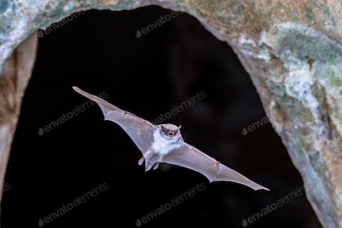 Langfinger-Fledermaus fliegen aus der Höhle
