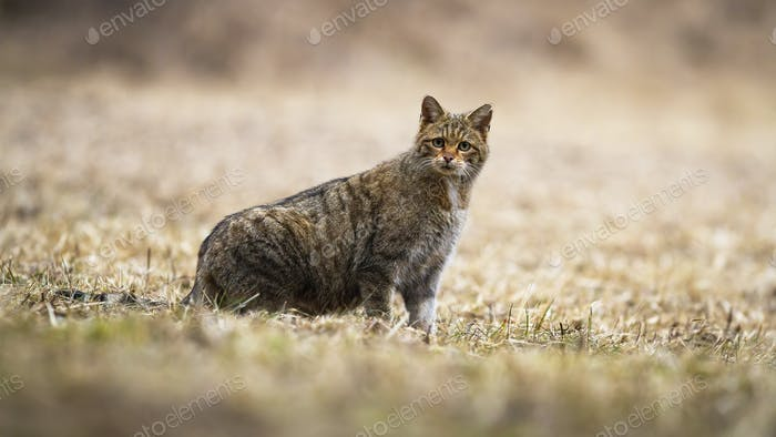 Surprised European wildcat looking attentively to camera in nature