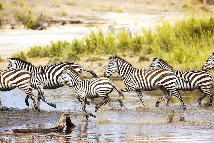Zebras läuft im Wasser