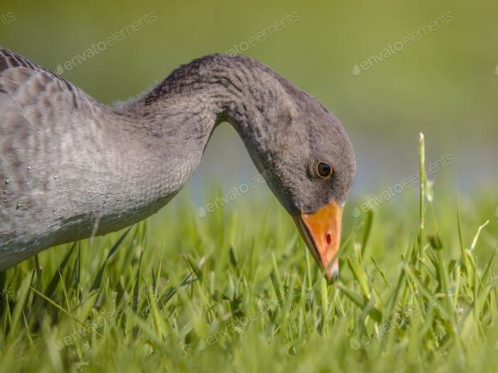 Greylag goose bird eating grass