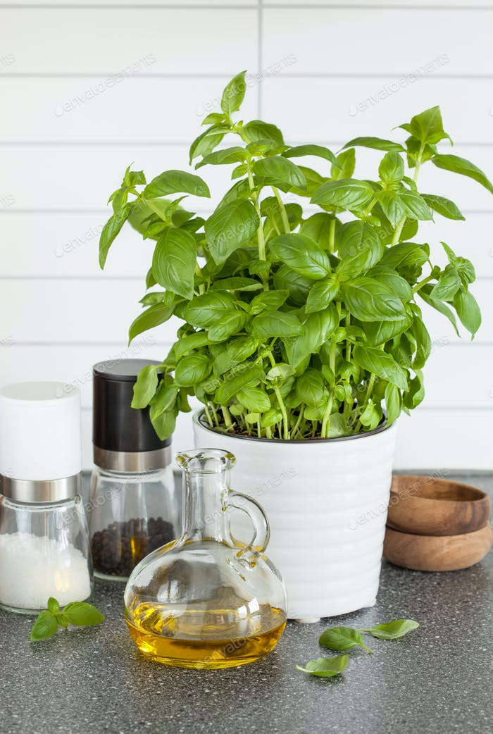 fresh basil herb in pot olive oil kitchen
