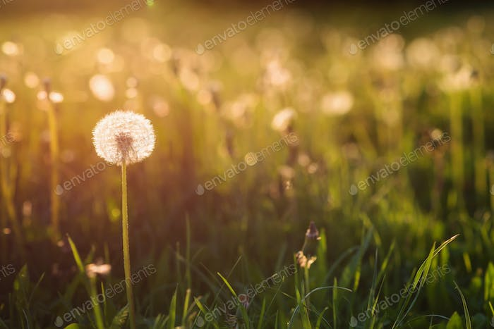 Green summer meadow with dandelions at sunset. Nature background.