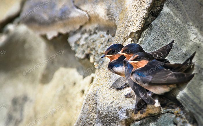 Welcome Swallows on a Rocky Ledge in Australia