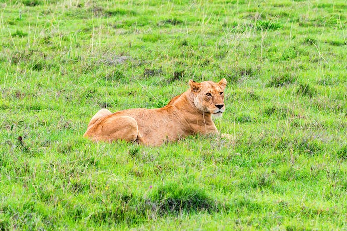 Lioness or Panthera leo rests in savanna close
