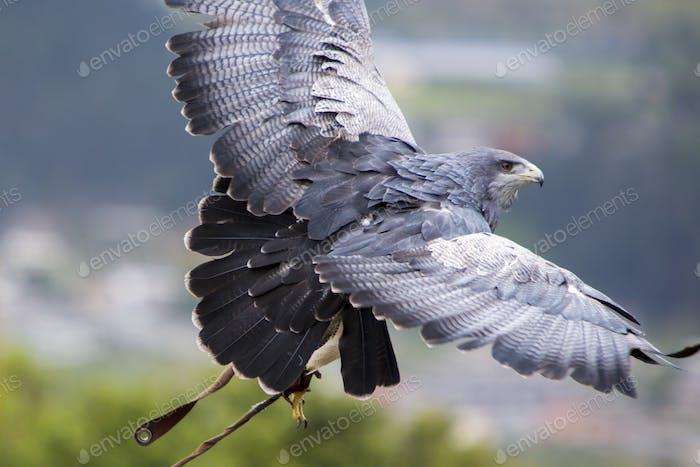 American Bald Eagle landing in Otavalo, Ecuador