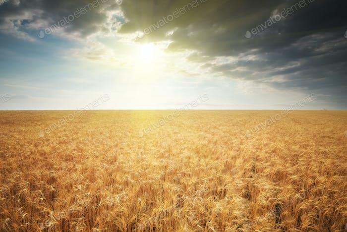 Wiese von goldenem Weizen