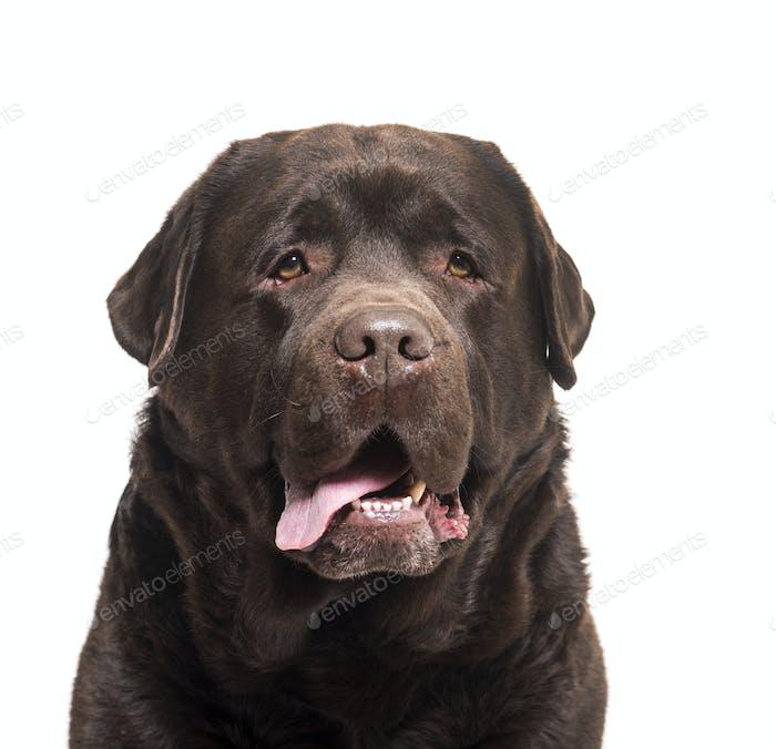 Close-up of labrador Retriever dog panting, cut out