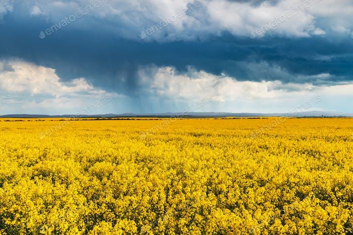 Dramatisch Sturmwolken mit Regen über gelbem Rapsfeld