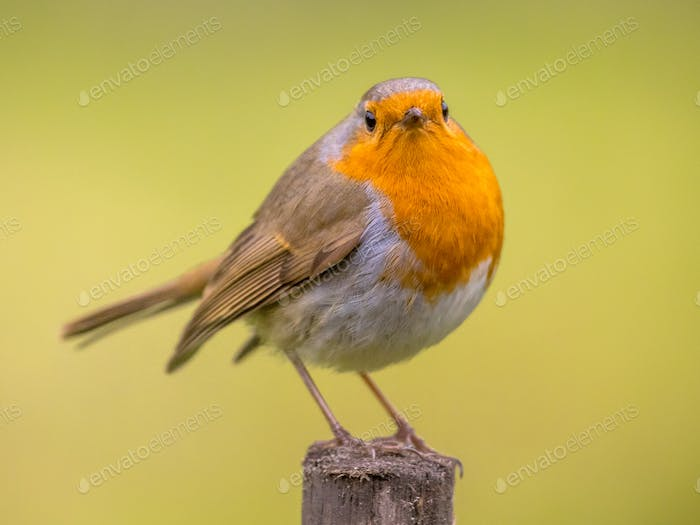 Red Robin on spring background