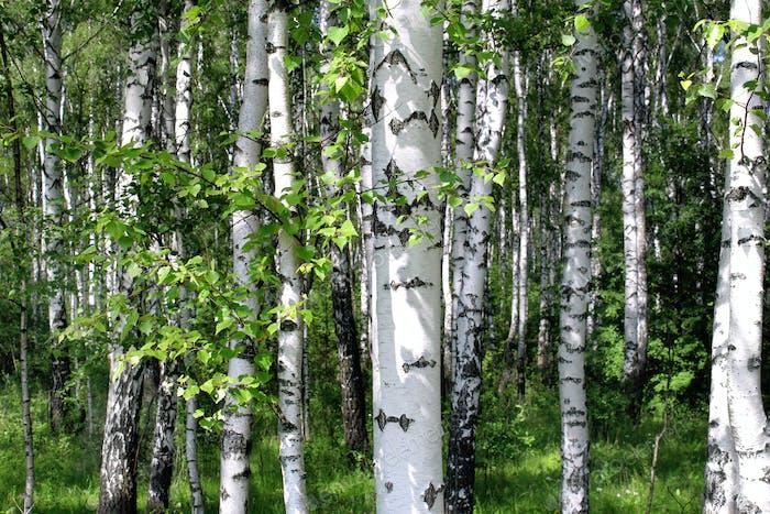 Schöne Birken