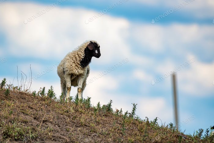Young black and white lamb in nature