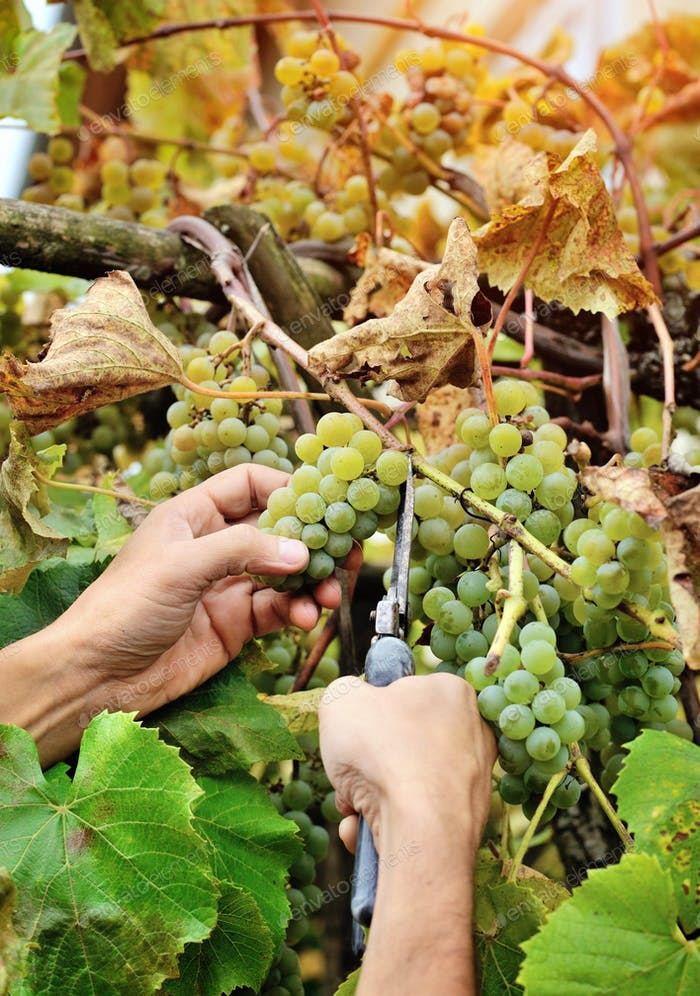 Farmers hands holding and cutting white grape from the vines dur