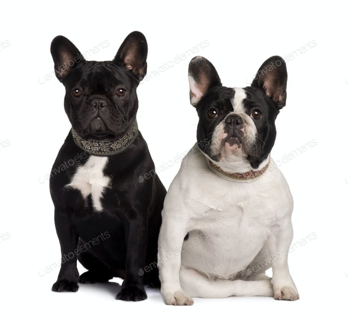 Two French Bulldogs, 2 years old and 11 months old, sitting in front of white background