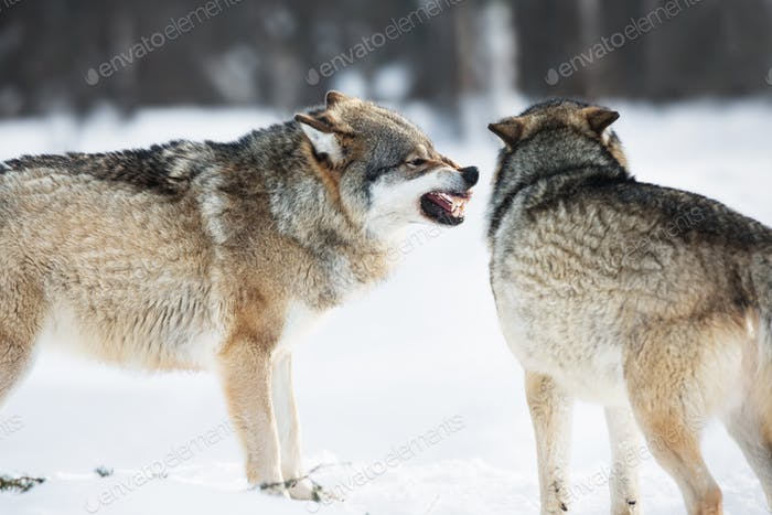 Lobos enojados en el Bosque de invierno