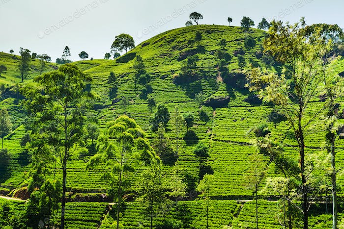 Green tea plantation in the mountains. Sri Lanka