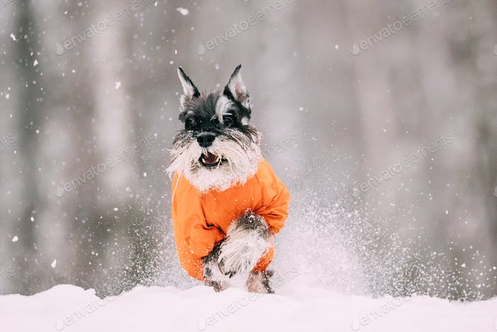 Miniature Schnauzer Dog Or Zwergschnauzer Sitting In Outfit Play