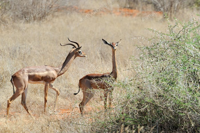 Gerenuk in National park of Kenya, Africa