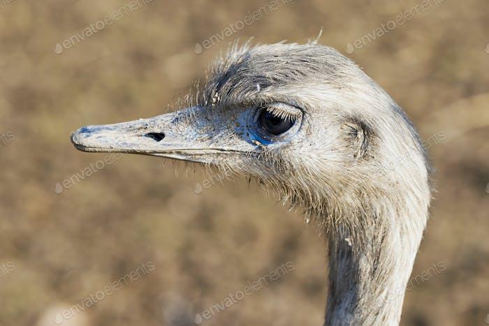 Porträt von größerer Rhea (Rhea americana)