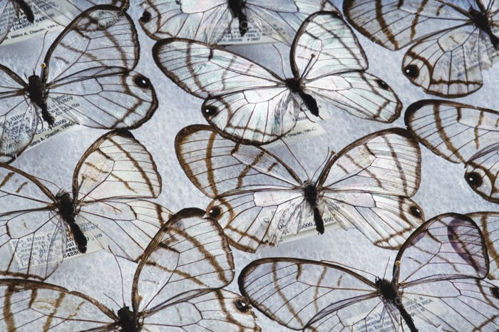 Glass wing butterflies, Dulcedo polita, National Institute of Biodiversity, Costa Rica