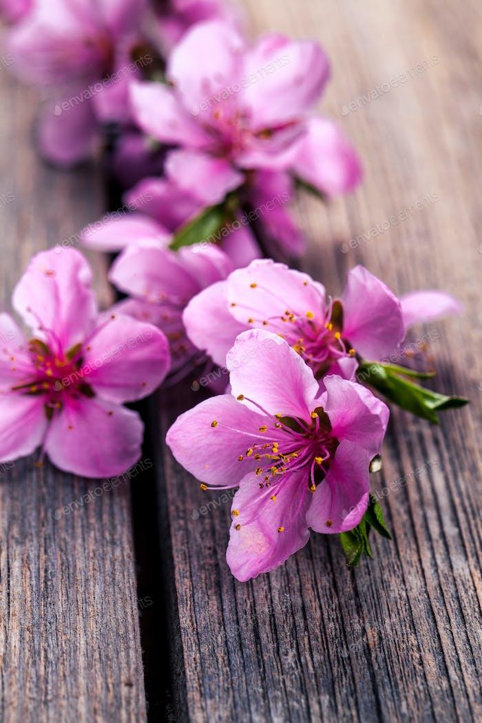 Pfirsichblüte auf alten Holzhintergrund. Fruchtblüten