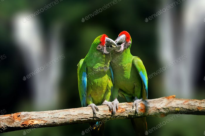 Wild parrot bird, green parrot Great-Green Macaw, Ara ambigua