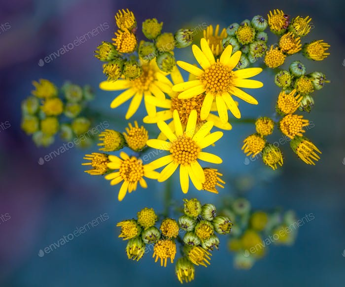 Ragwort on green and purple background