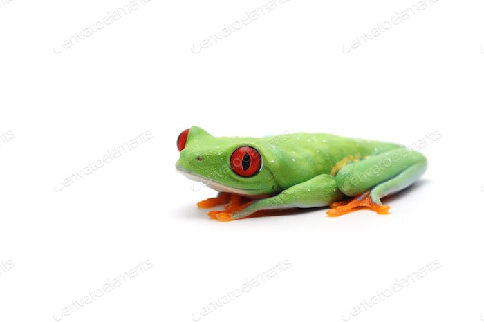 Thumbnail for Red eyed tree frog isolated on white background