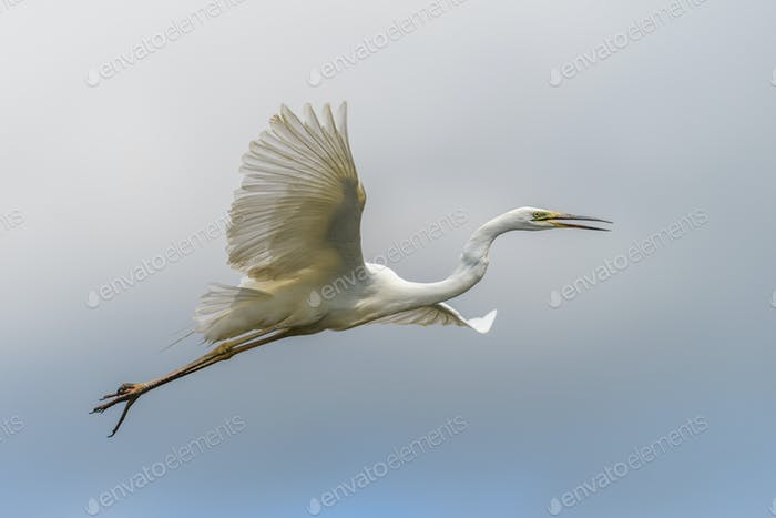 White heron, Great Egret, fly on the sky background. Water bird in the nature habitat