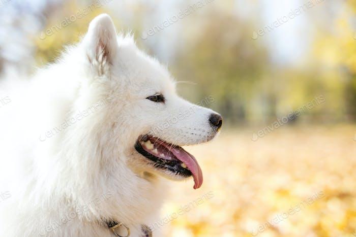 Samoyed dog in autumn park