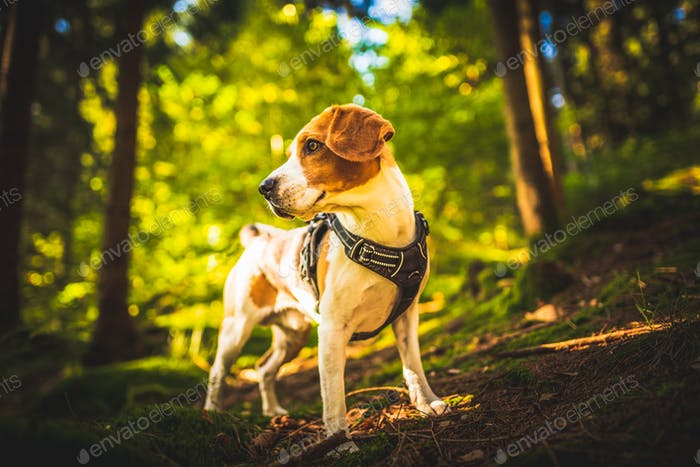 The beagle dog in sunny autumn forest. Alerted hound searching for scent and listening to the woods