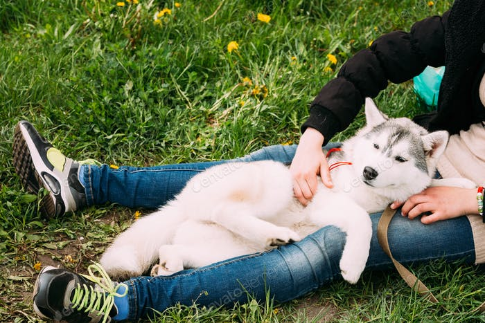Funny Young Husky Puppy Dog Sits In Girl Embrace In Green Grass