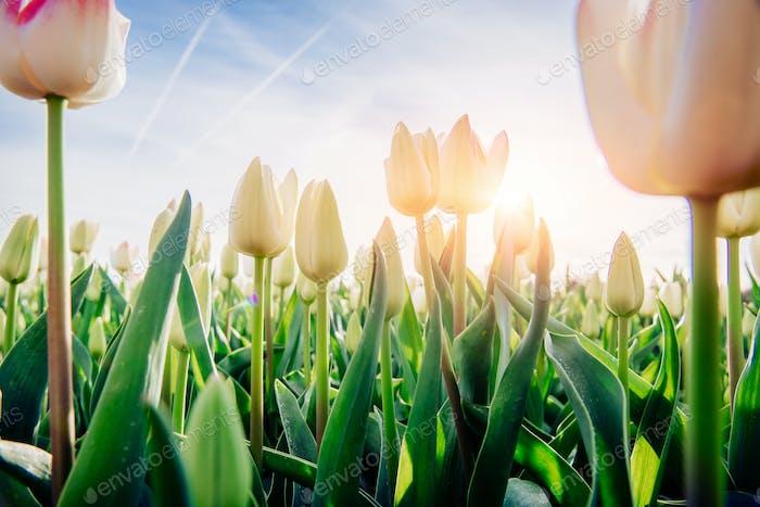 weiße Tulpe durch Sonnenlicht.