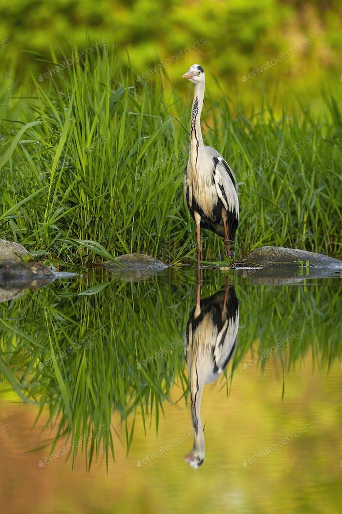 Geduldige Graureiher Jagd in einem Fluss mit Spiegelung auf Wasserstand