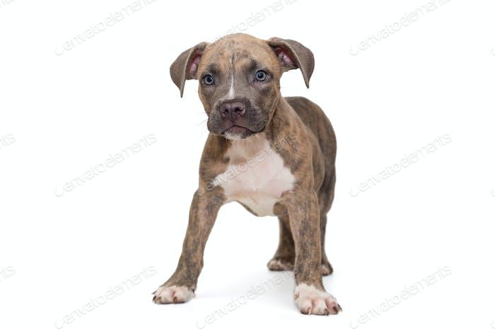 Cute American bully puppy