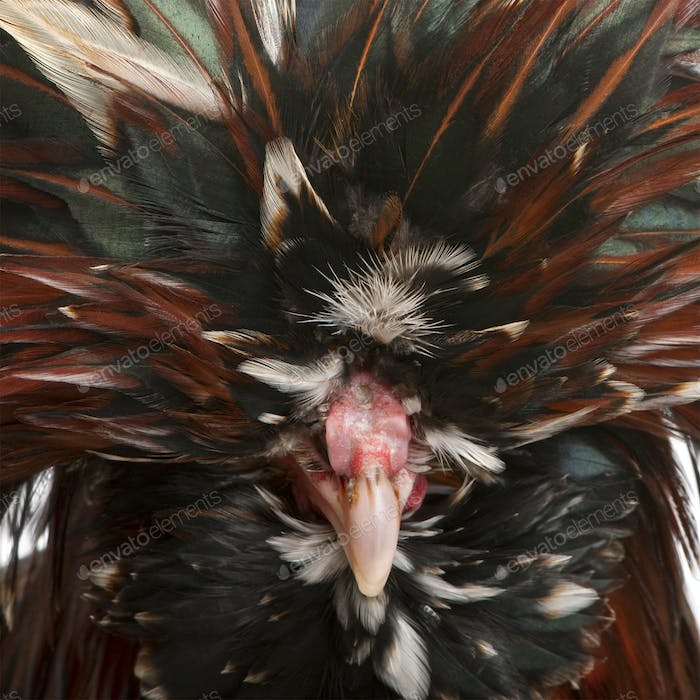 Close-up of Tollbunt tricolor Polish Rooster, 6 months old