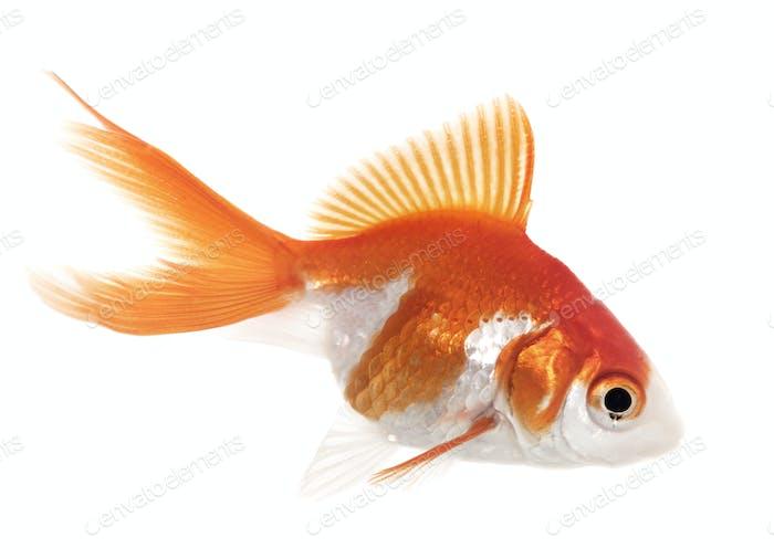 red goldfish in aquarium