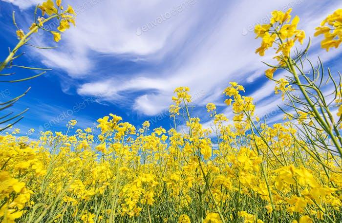 Blühende Ölsaaten Rapsfeld Nahaufnahme mit Blau bewölktem Himmel oben.