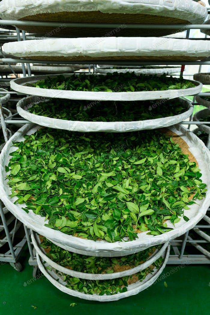 Procesamiento de la fermentación para el té en fábrica