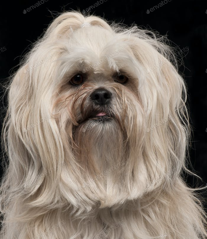 Close-up of Lhasa Apso, 2 and a half years old, in front of black background