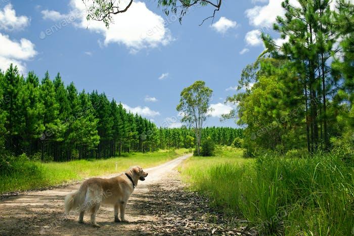 Golden retriever standing on a forest path