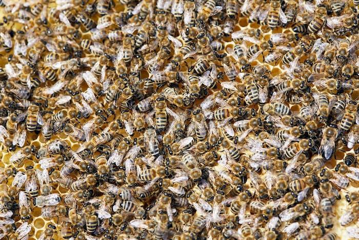 Honey Bees Background